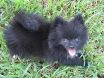 Black Pomeranian Puppy