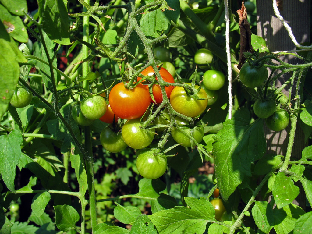 How to Can Tomatoes (easily) #HowToCanTomatoes #MissHomemade