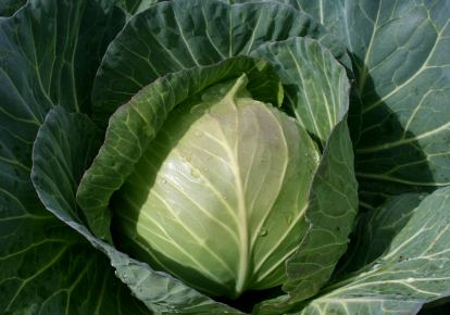 Easy Cabbage Recipes