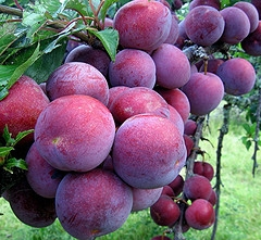 How to can Plums