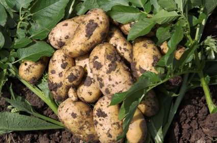 Potatoes dug up